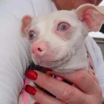 Albino Chihuahua