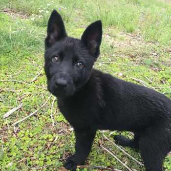 All Black German Shepherd Puppies