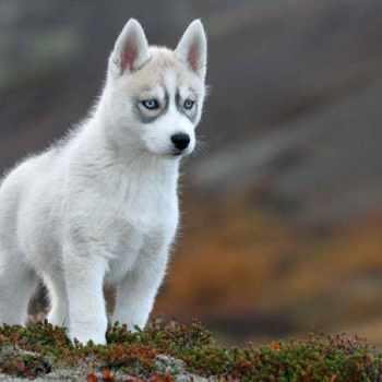 All Husky Breeds