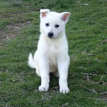 All White German Shepherd Puppies For Sale