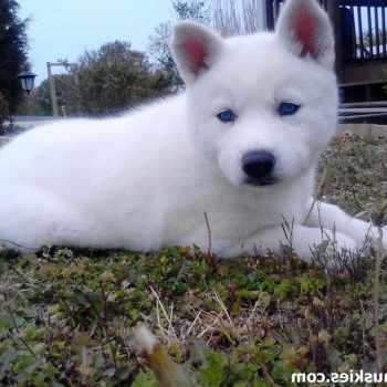 All White Husky Puppies For Sale