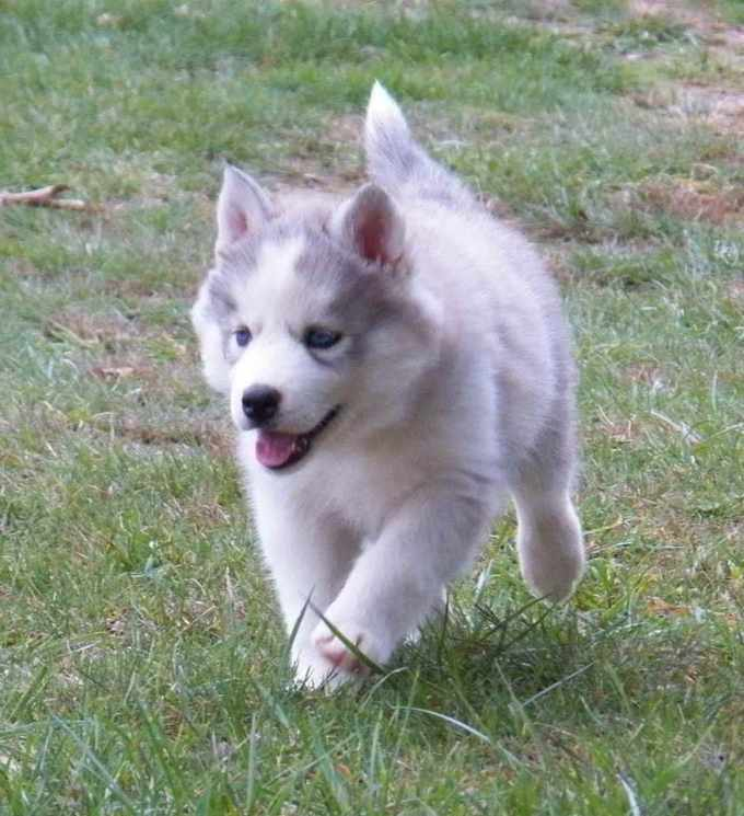 All White Siberian Husky Puppy For Sale