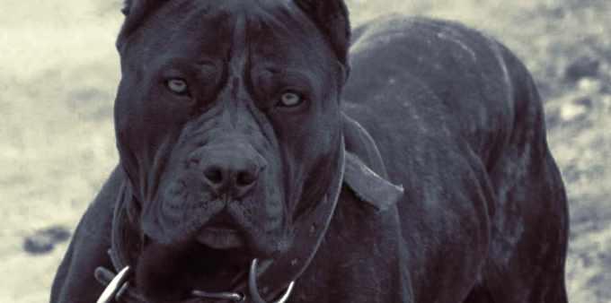 Ambullneo Mastiff For Sale