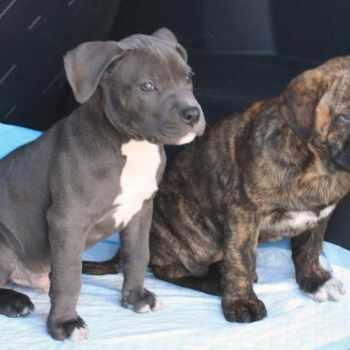 Ambullneo Mastiff Puppies