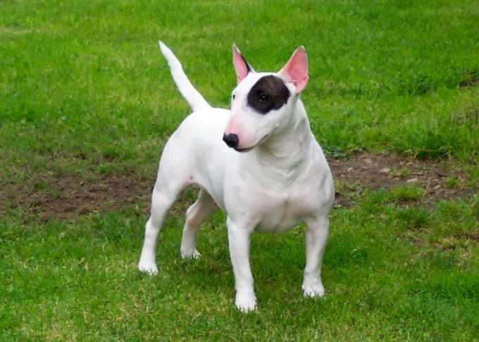American Bull Terrier Puppies