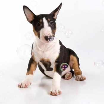 American Bull Terrier Puppy