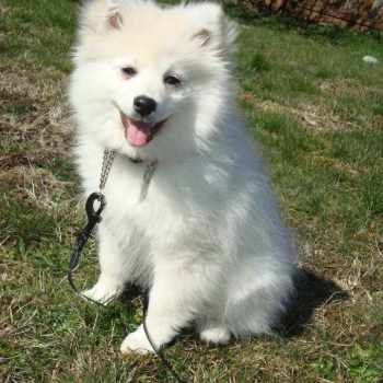 American Eskimo Pomeranian Mix For Sale
