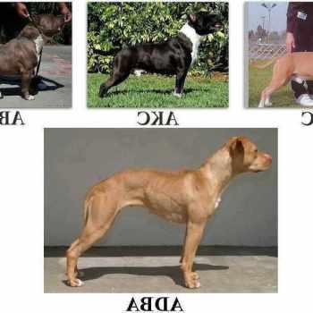 American Pit Bull Terrier Akc