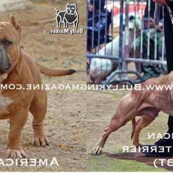 American Pit Bull Terrier History