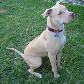 American Pitbull Terrier Female