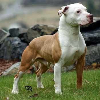 American Pitbull Terrier Kennels