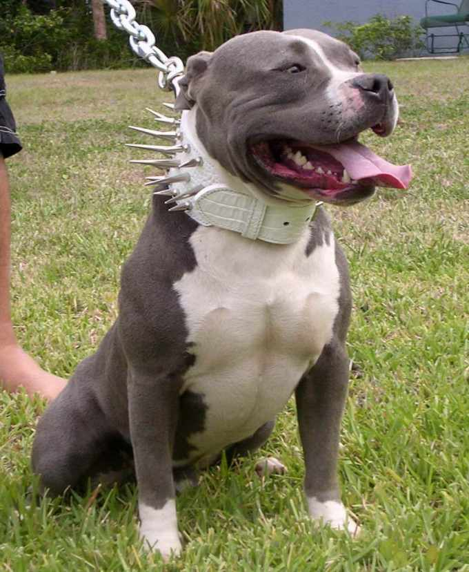 American Pitbull Terrier Puppies For Adoption