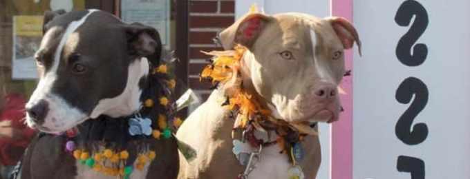 American Pitbull Terrier Rescue
