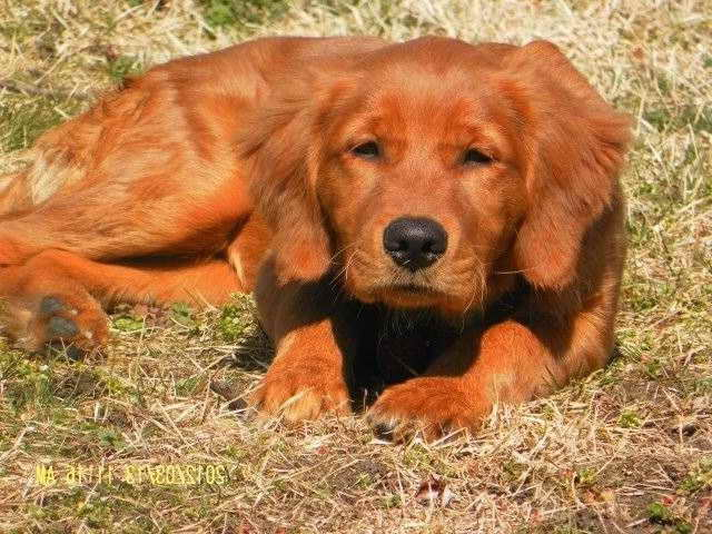 American Red Golden Retriever Puppies
