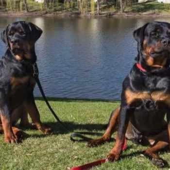 American Rottweiler Club Breeders