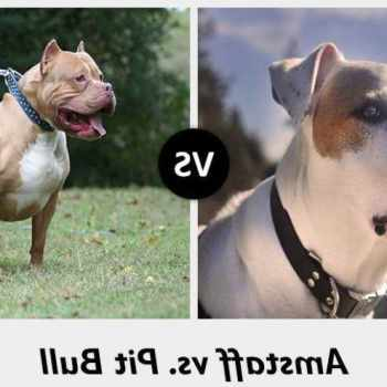 American Staffordshire Terrier Vs Pitbull Difference