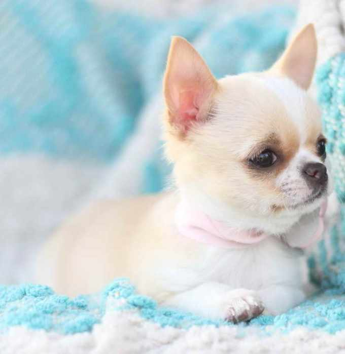 Apple Head Chihuahua For Sale Near Me