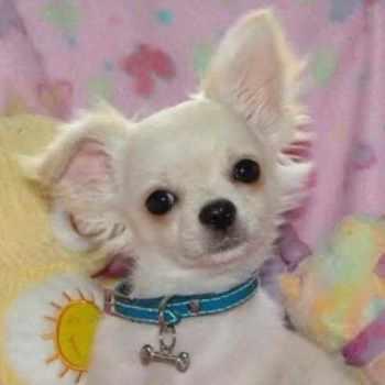 Applehead Chihuahua For Sale In Louisiana