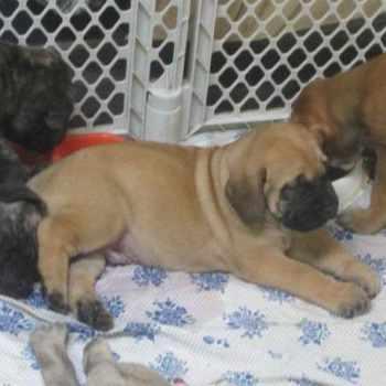 Apricot Mastiff Puppies For Sale