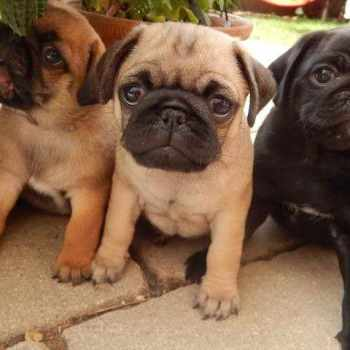 Apricot Pug Puppies For Sale