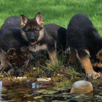 Arizona German Shepherd Breeders
