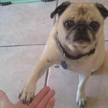 Arizona Pug Rescue