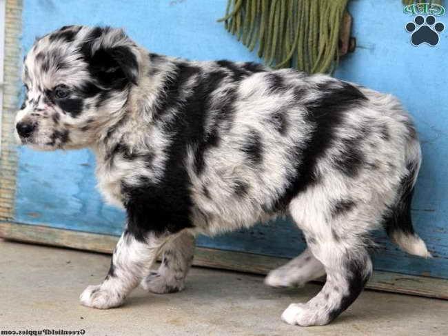 Australian Husky For Sale