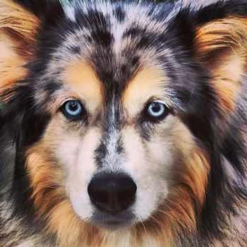 Australian Husky Puppy