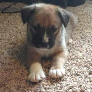 Australian Labrador Puppies