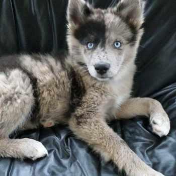 Australian Shepherd Siberian Husky Mix Puppies For Sale