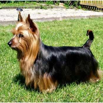Australian Silky Terrier Price