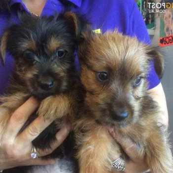 Australian Terrier Puppy For Sale