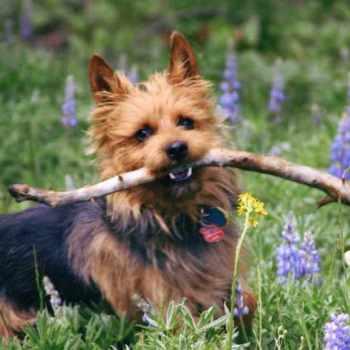 Australian Terrier Rescue