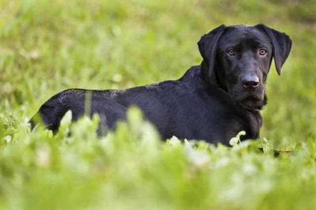 Average Lifespan Of A Labrador Mix