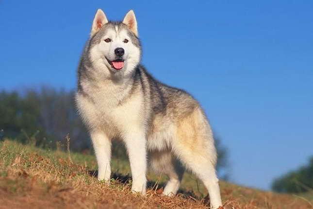 Average Price For Husky Puppies