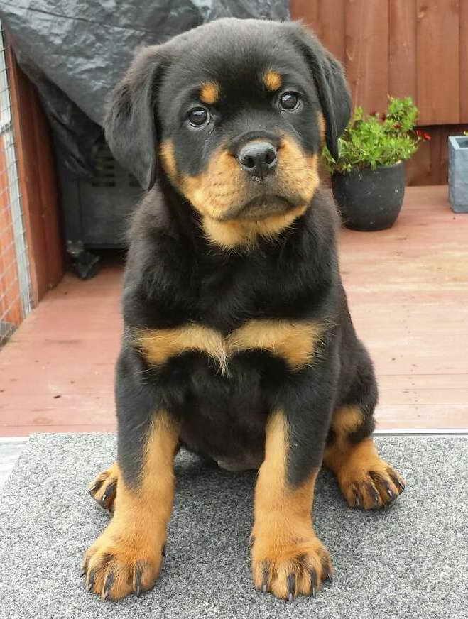 Average Price For Rottweiler Puppy