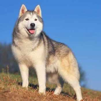 Average Price Of A Siberian Husky Puppy