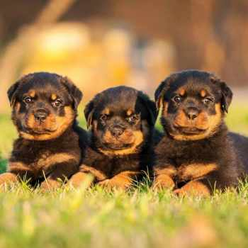 Average Price Of Rottweiler Puppies