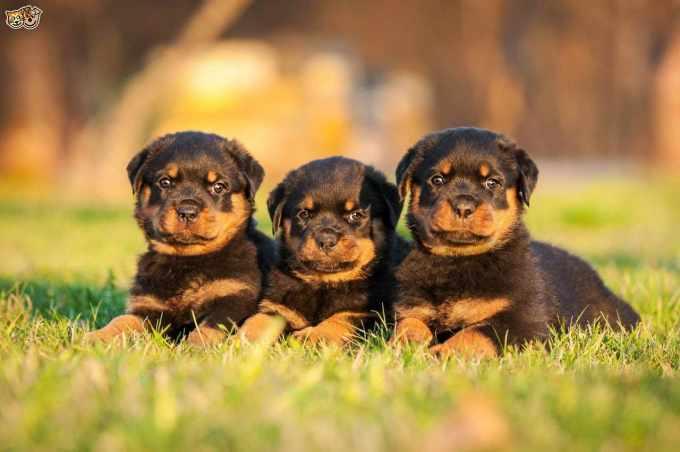 Average Price Of Rottweiler Puppies