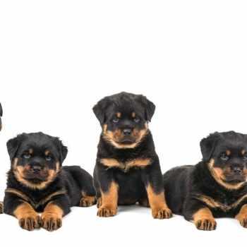 Az Rottweiler Rescue