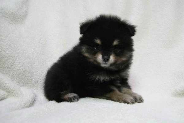 Baby Black Pomeranian Pets and Dogs