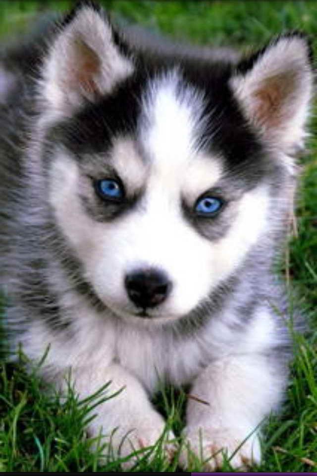 baby blue eyed husky