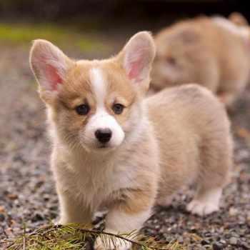 Baby Corgi Puppies For Sale