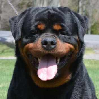 Baby German Rottweiler For Sale