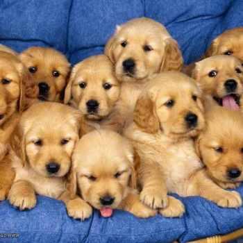 Baby Golden Retriever Puppies