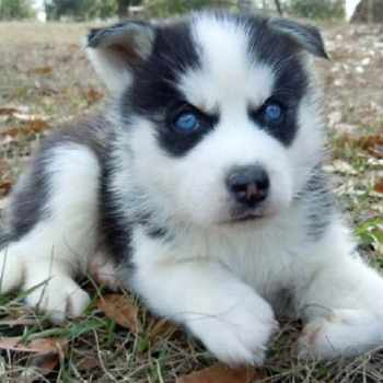 Baby Husky Prices
