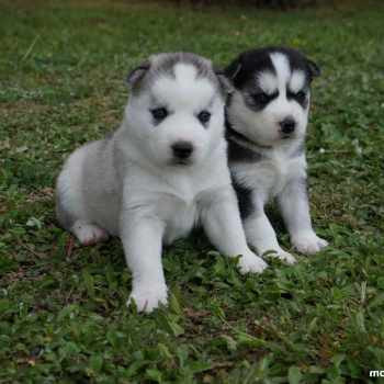 Baby Husky Puppies