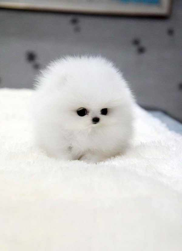 Baby Pomeranian For Sale Pets and Dogs