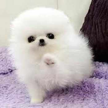 Baby Pomeranian Puppies