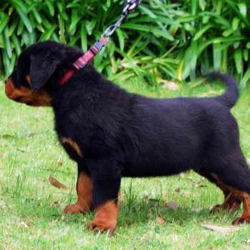 Baby Rottweiler For Sale Cheap